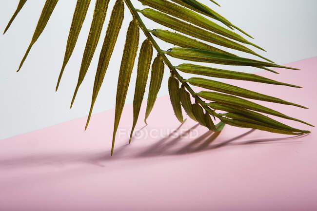 Зеленый тропический лист пальмы поверх розового листа бумаги — стоковое фото