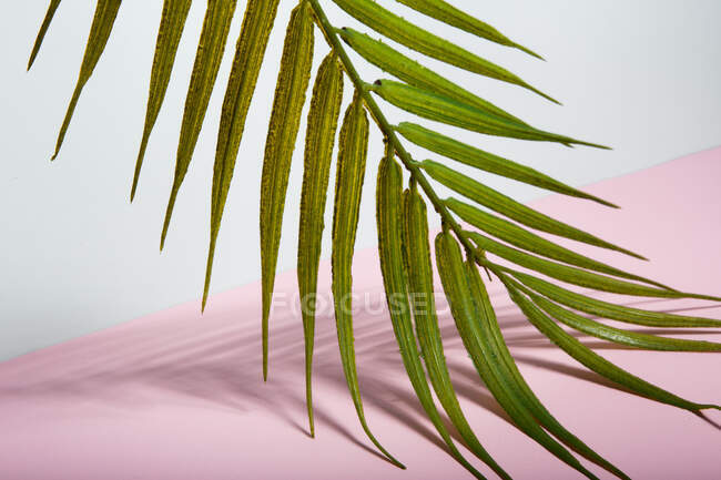 Green tropical palm tree leaf over pink paper sheet — Stock Photo