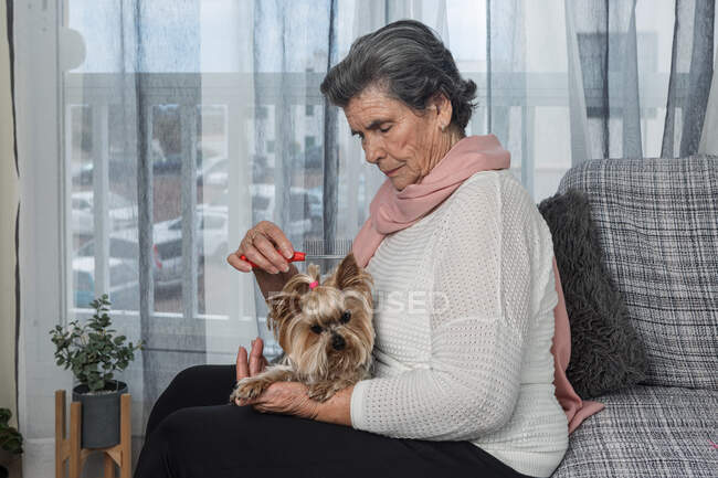 Elderly female combing fur of adorable Yorkshire Terrier while sitting on sofa at home during coronavirus pandemic — Stock Photo