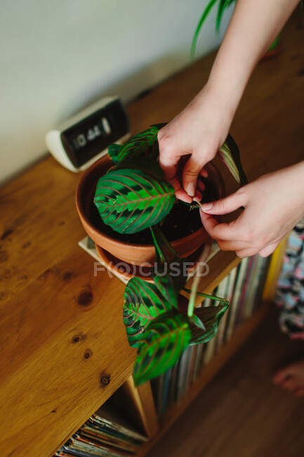 From above anonymous person taking care on green potted plant on shelf on weekend day at home — Stock Photo