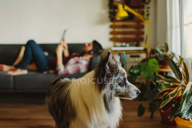 Cute fluffy Collie looking at green potted plants while standing on blurred background of resting male owner at home — Stock Photo