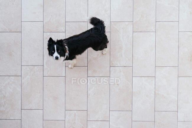 Vista dall'alto di carino Border Collie cane con colore bianco e nero in piedi su piastrelle per strada con testa in su e guardando la fotocamera — Foto stock