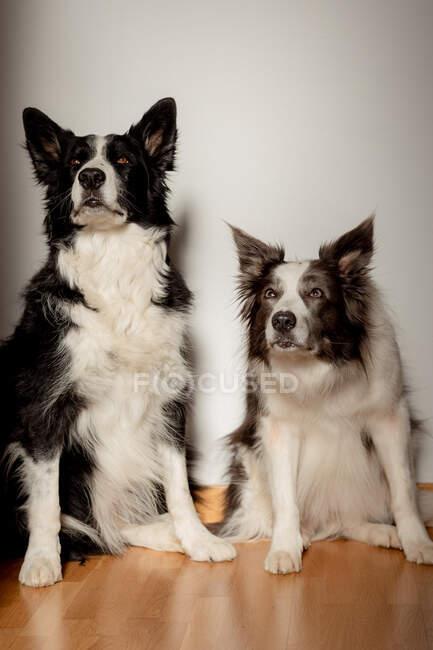 Серйозні білі і чорні чистокровні собаки дивляться вгору, сидячи на дерев'яній підлозі біля сірої стіни. — стокове фото