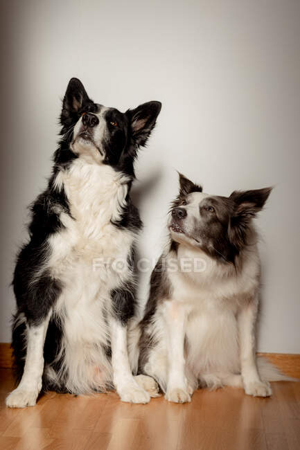 Serious white and black purebred dogs looking up while sitting on wooden floor against gray wall — Stock Photo