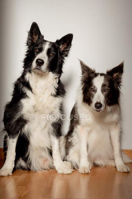 Ernste weiße und schwarze reinrassige Hunde blicken in die Kamera, während sie auf dem Holzboden vor der grauen Wand sitzen — Stockfoto
