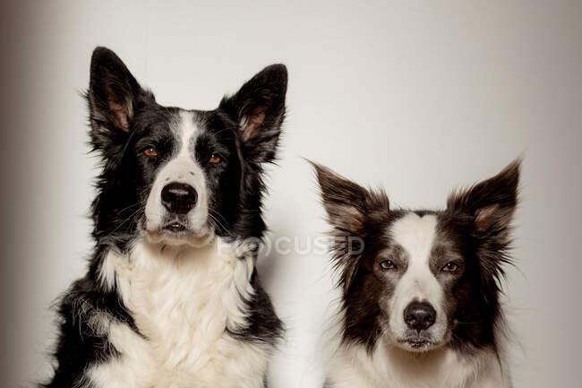 Cães de raça pura brancos e pretos sérios olhando para a câmera enquanto sentados no chão de madeira contra a parede cinza — Fotografia de Stock
