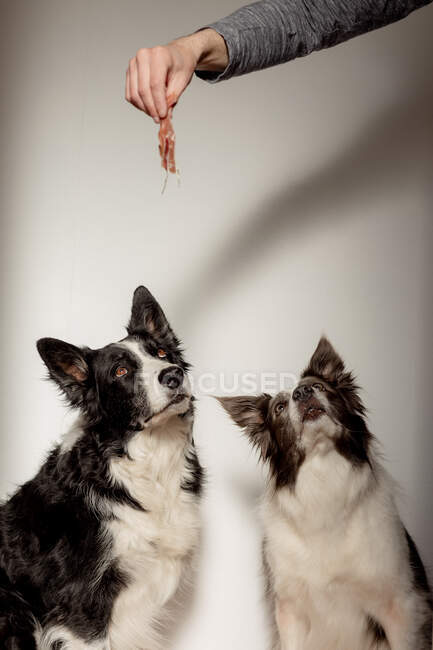 Side view of funny black and white purebred dogs receiving small piece of chicken from above while having snack time — Stock Photo