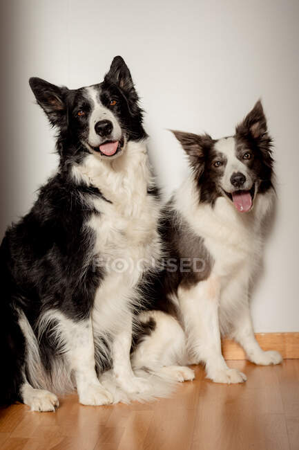 Serious white and black purebred dogs looking at camera while sitting on wooden floor against gray wall — Stock Photo