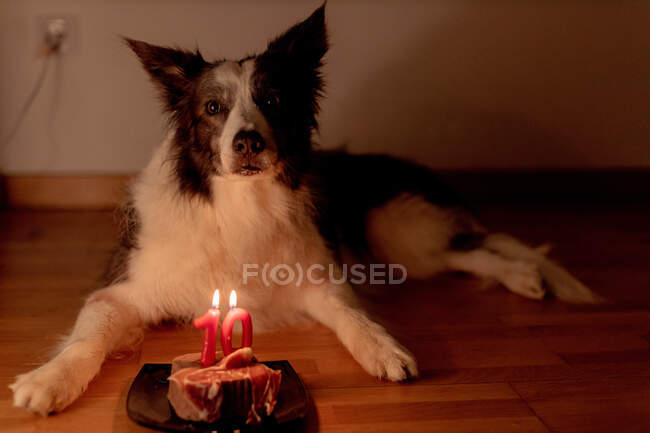 Calma frontiera Collie cane che riceve bistecca di compleanno crudo con candele accese sul piatto mentre sdraiato sul pavimento in camera con luci spente — Foto stock
