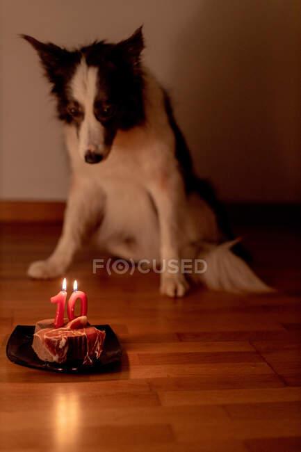 Ruhiger Border Collie Hund erhält rohes Geburtstagssteak mit brennenden Kerzen auf Teller, während er mit ausgeschaltetem Licht auf dem Boden liegt — Stockfoto