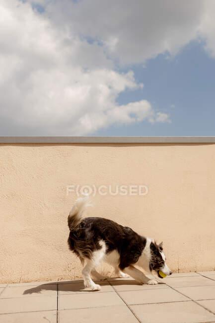 Возбужденный пограничный колли, несущий желтый шар во рту, играющий у бетонного забора и идущий по пути к владельцу на солнечной улице — стоковое фото