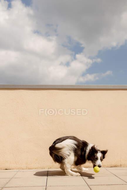 Border Collie excité portant boule jaune dans la bouche jouant près de clôture en béton et courant le long du chemin du propriétaire dans la rue ensoleillée — Photo de stock