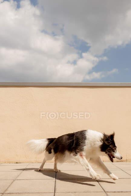 Eccitato Border Collie portando palla gialla in bocca giocando vicino alla recinzione di cemento e correndo lungo il sentiero per il proprietario in strada soleggiata — Foto stock