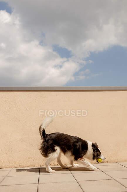 Excitado Border Collie carregando bola amarela na boca jogando perto de cerca de concreto e correndo ao longo do caminho para o proprietário na rua ensolarada — Fotografia de Stock
