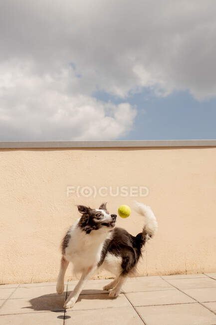 Excited Border Collie carrying yellow ball in mouth playing near concrete fence and running along path to owner in sunny street — Stock Photo