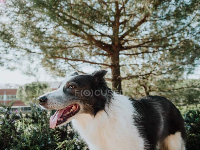 Curioso Border Collie cane in piedi su aiuola vicino marciapiede nel parco soleggiato — Foto stock