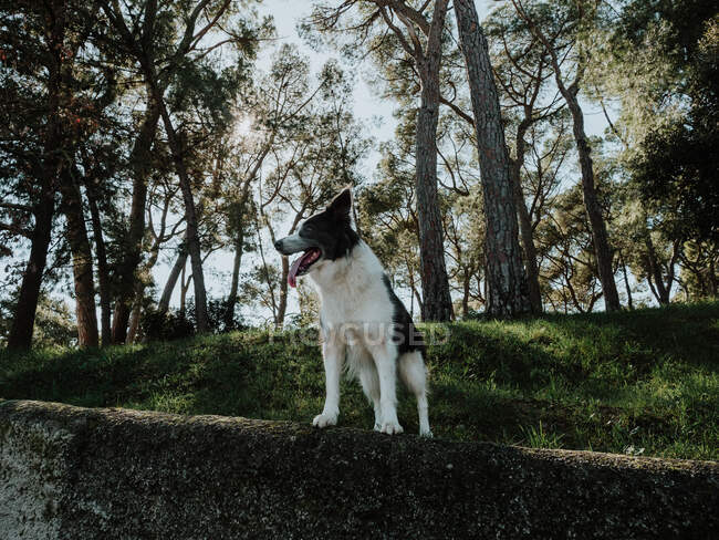 Любопытная собака-колли стоит на клумбе рядом с тротуаром в солнечном парке — стоковое фото