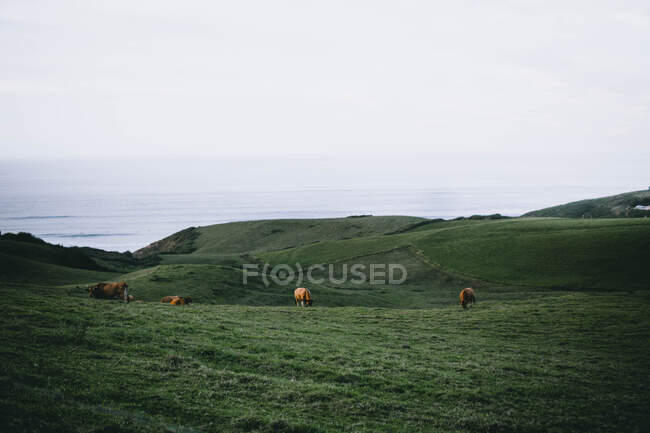 Cows grazing on green hills at seaside — Stock Photo
