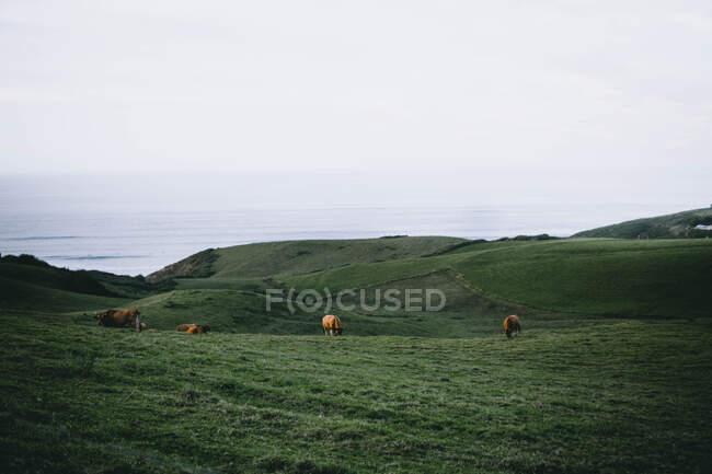 Vacas pastando en verdes colinas junto al mar - foto de stock