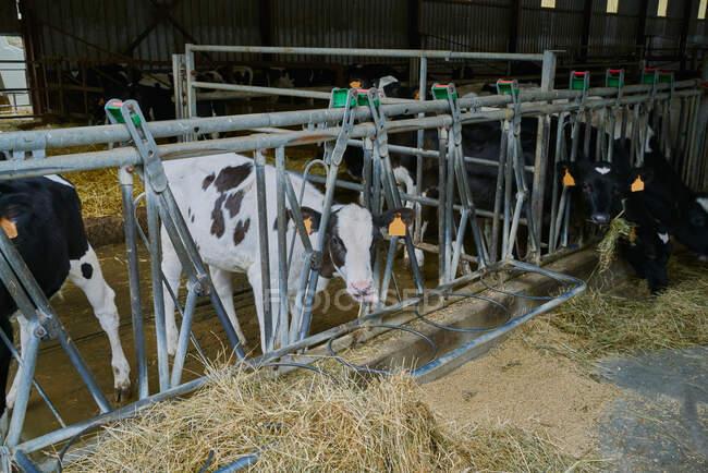 Групи домашніх корів стоять за металевим парканом у стайні сучасної коров
