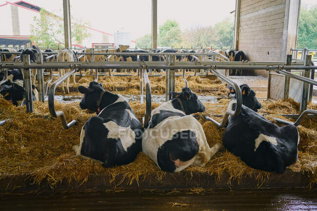 Стадо домашних коров, стоящих в стойле — стоковое фото