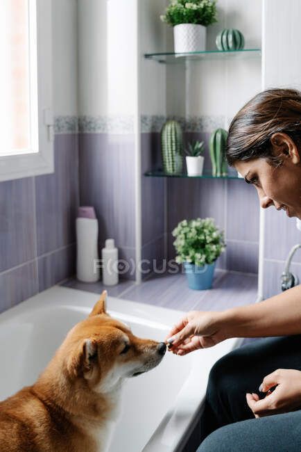 Side view of cute Shiba Inu obediently sitting on bathtub and sniffing piece of dog treats from hands of crop owner — Stock Photo