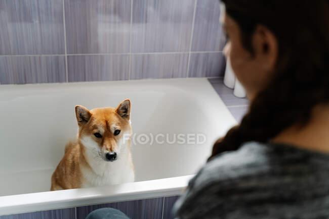Вид сбоку на симпатичную Шибу Ину, покорно сидящую на ванне и нюхающую собачьи лакомства из рук владельца урожая — стоковое фото