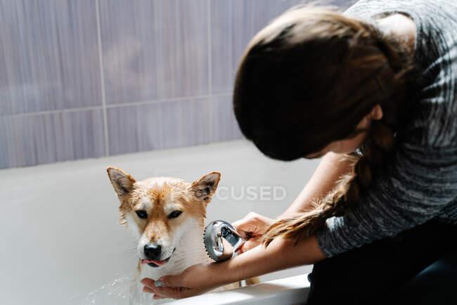 Безликая женщина в повседневной одежде поливает симпатичную Шибу Ину из душа, а послушная собака стоит в ванной во время купания дома — стоковое фото