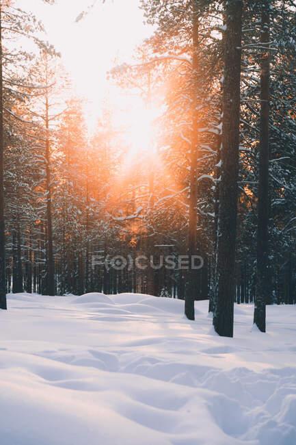 Paysage hivernal pittoresque avec soleil brille à travers les branches de pins dans la forêt d'hiver avec des dérives de neige blanche dans la campagne finlandaise — Photo de stock