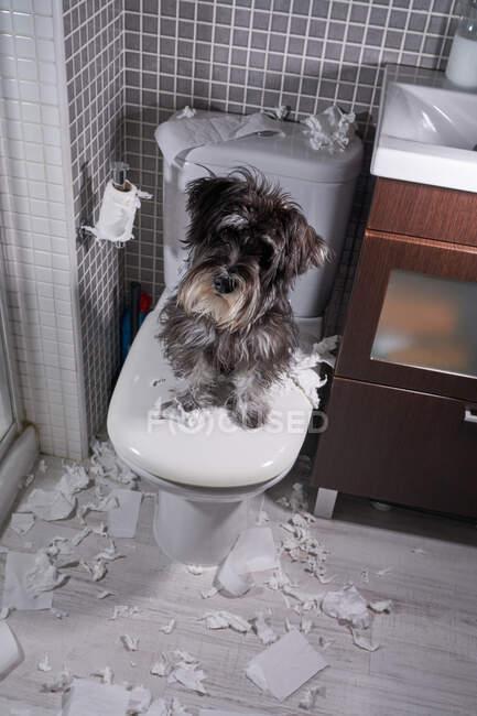 Сверху игривая пушистая собака сидит на крышке унитаза с обрывками туалетной бумаги, разбросанной по ванной — стоковое фото