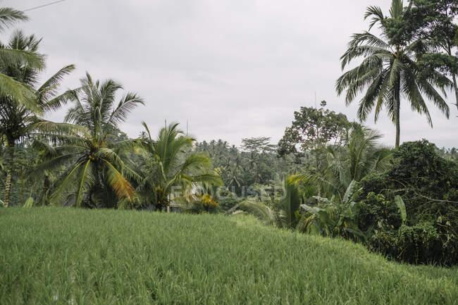 Herrliche Landschaft von Reisterrassen in feuchtem Klima an einem bewölkten Tag auf Bali — Stockfoto
