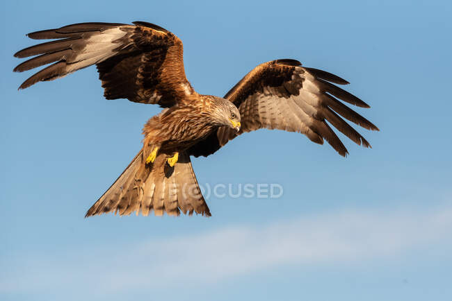 From below wild hawk flying in blue sky and hunting on sunny day in nature — Stock Photo