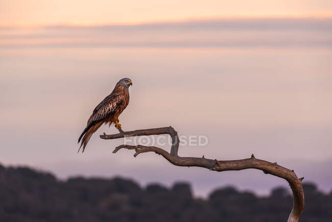 Wild hawk sitting on weathered tree branch on blurred background of sundown sky in nature — Stock Photo
