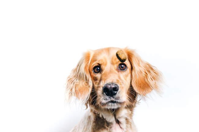 Niedriger Winkel des niedlichen gesunden reinrassigen Hundes fängt fliegenden Snack, während er gegen weiße Wand sitzt — Stockfoto