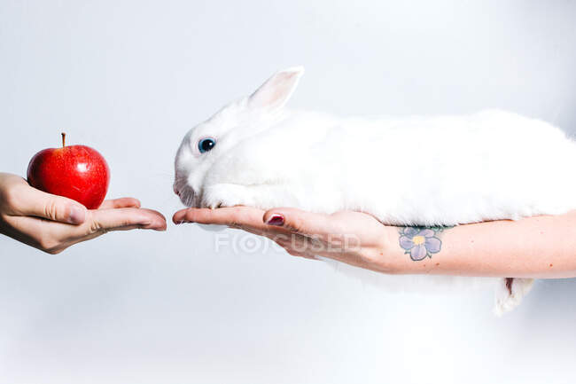 Crop unrecognizable person giving red apple to cute white rabbit sitting on female hand — Stock Photo