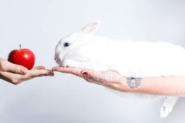 Неупізнавана людина дарує червоне яблуко милому білому кролику, який сидить на жіночій руці. — стокове фото