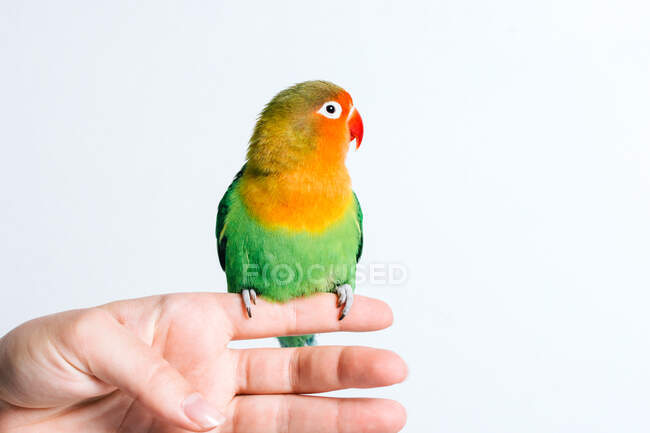 Cortar fêmea anônima segurando bonito pequeno papagaio de pássaro colorido contra fundo branco — Fotografia de Stock