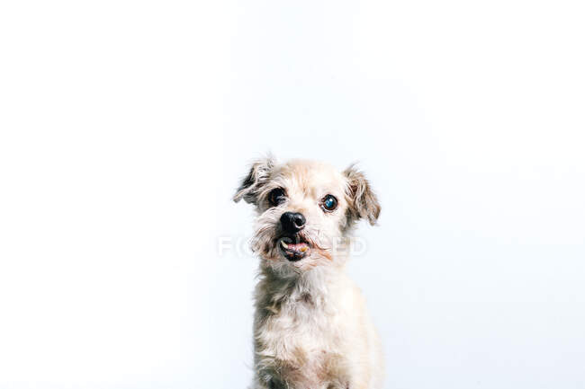 Funny fluffy white little lap dog sitting against white background and looking at camera — Stock Photo