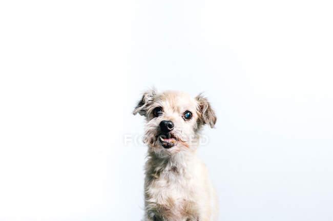 Drôle pelucheux blanc petit tour chien assis sur fond blanc et regardant caméra — Photo de stock