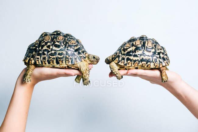 Пара очаровательных маленьких черепах, которых держат анонимные урожаи на белом фоне — стоковое фото