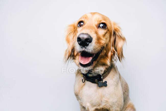 Adorable healthy active pedigreed dog with collar sitting against white background — Stock Photo