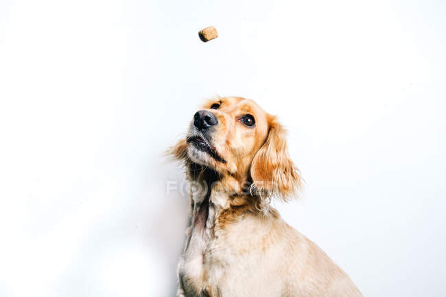 Low angle of cute healthy purebred dog catching flying snack while sitting against white wall — Stock Photo