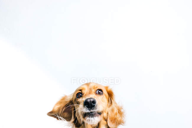 Entzückender gesunder, aktiver Stammhund mit Halsband sitzt vor weißem Hintergrund — Stockfoto
