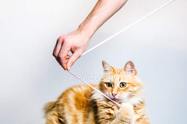 Adorable tabby ginger cat playing with hanging toy held by crop anonymous owner on white background — Stock Photo