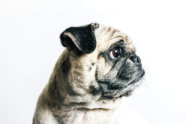 Carino cane carlino su sfondo bianco — Foto stock