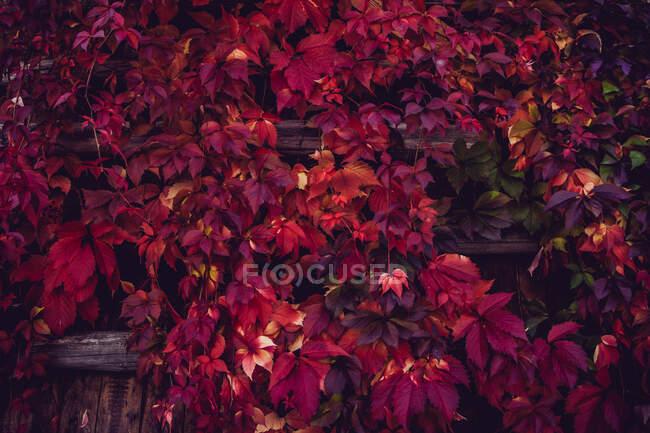 Follaje de otoño rojo en valla de madera - foto de stock