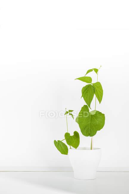 Маленькие и большие зеленые растения, растущие в белом керамическом горшке помещены в белой студии — стоковое фото