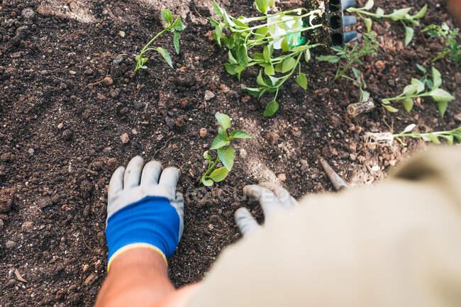 De dessus cultivé mâle méconnaissable en tenue décontractée et gants plantant des semis dans le sol tout en travaillant dans la cour arrière dans le jour du printemps dans la campagne — Photo de stock