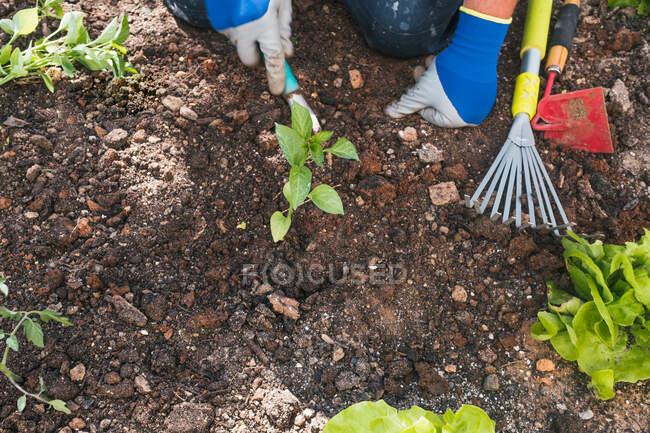 Сверху обрезанный неузнаваемый мужчина в повседневной одежде и перчатках сажает саженцы в почве во время работы на заднем дворе весной в сельской местности — стоковое фото