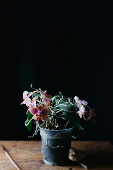 Composición de flores naturales que crecen en maceta sobre una mesa de madera en mal estado en habitación oscura - foto de stock